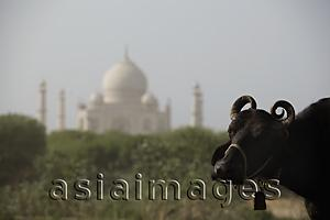 Asia Images Group - Closeup of a cow with the Taj Mahal in the background. Agra, India